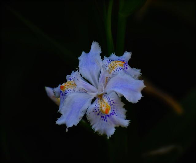 シャガ  Iris japonica, Sony SLT-A77V, Sony DT 55-300mm F4.5-5.6 SAM (SAL55300)
