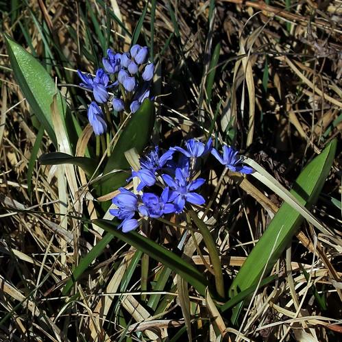 Scilla bifolia - scille à deux feuilles 40895035464_123213e664