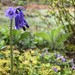 Morning walk wild bluebells and violets.