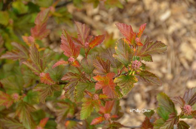 physocarpus-opulifolius-amber-jubilee'