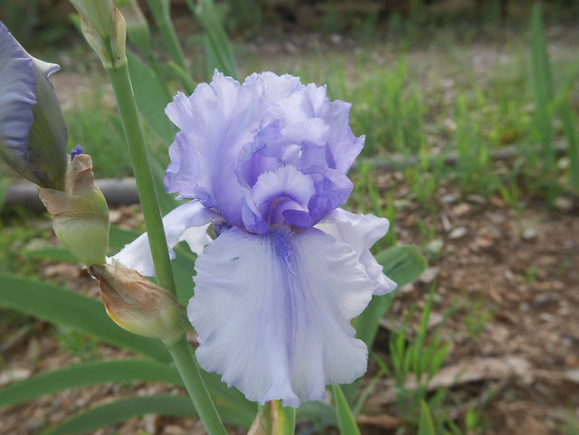 Iris 'Sovereign Crown' - George Sutton 2001 41443926764_f8e5a7ffff_z