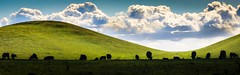 Cattle Silhouettes