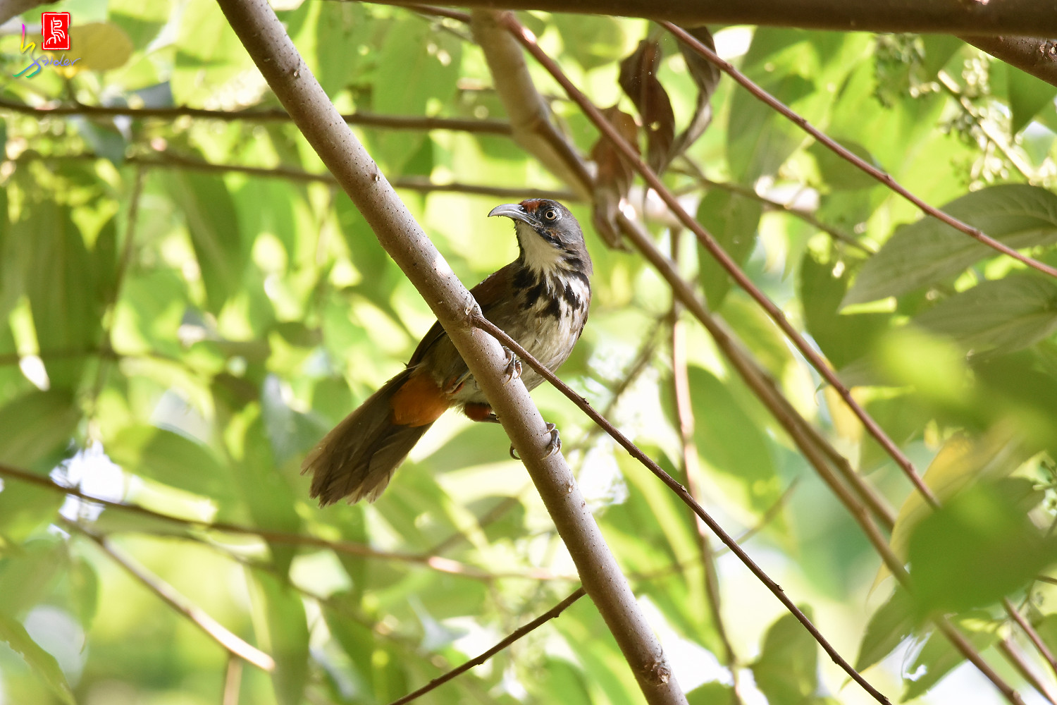 Rusty-cheeked_Scimitar_Babbler_8101