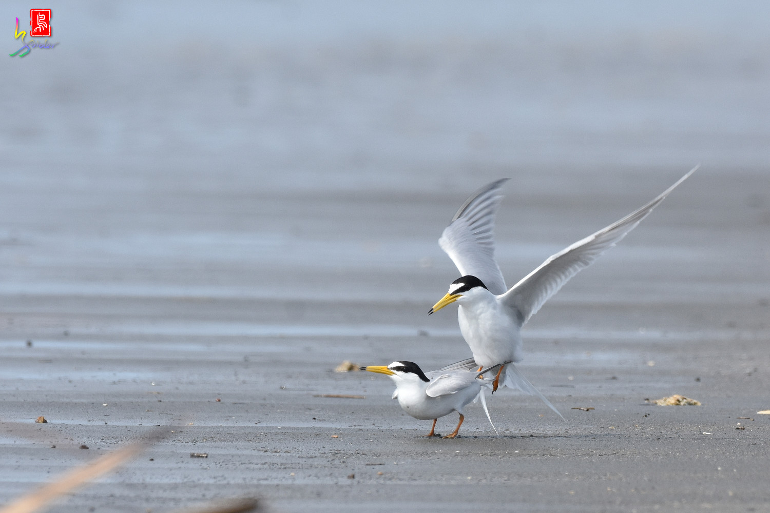 Little_Tern_4398