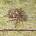 Weevil - Rhinoncus pericarpius (about 3mm)