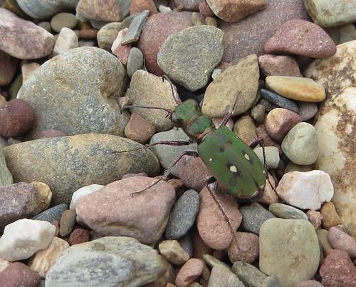 Escarabajo en guijarros del río Pusa