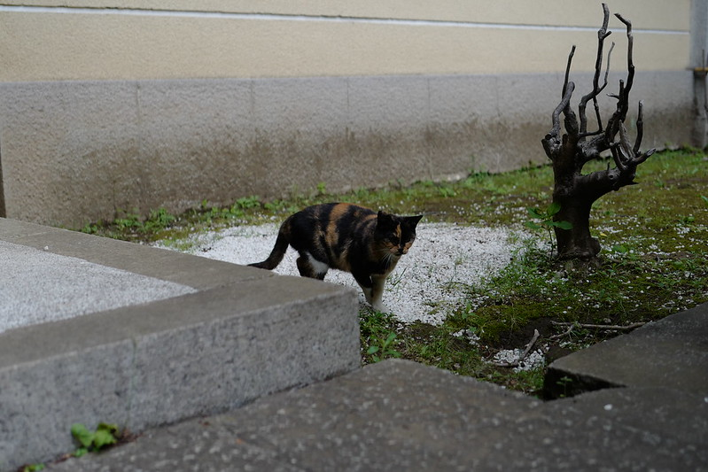 Leica Q雑司ヶ谷法明寺山門の三毛猫