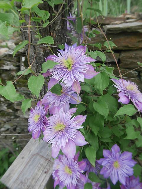 les jardins sont beaux en mai ! - Page 2 42054039202_8425f31a9b_z