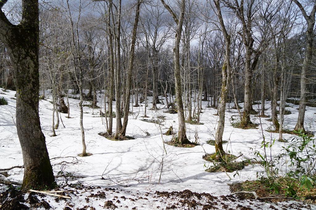 雪根開きの森