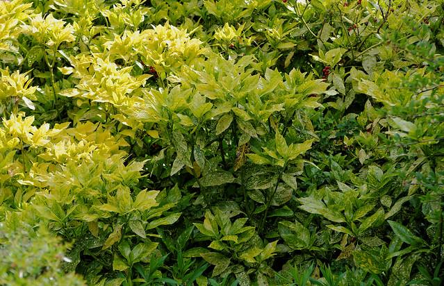 Aucuba japonica.