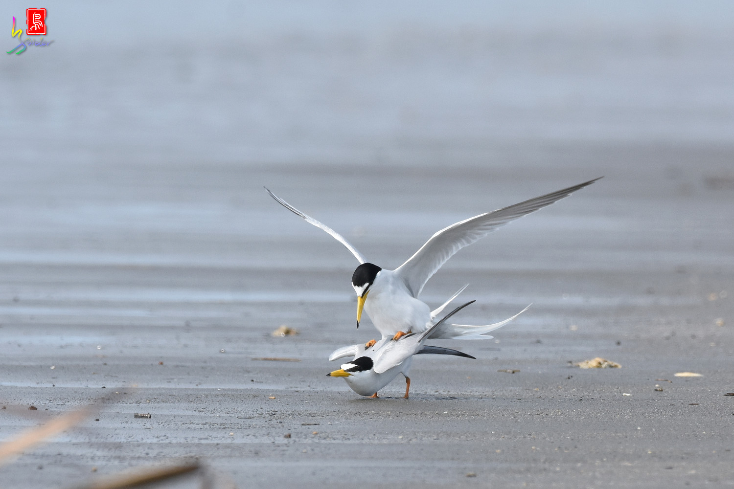 Little_Tern_4347
