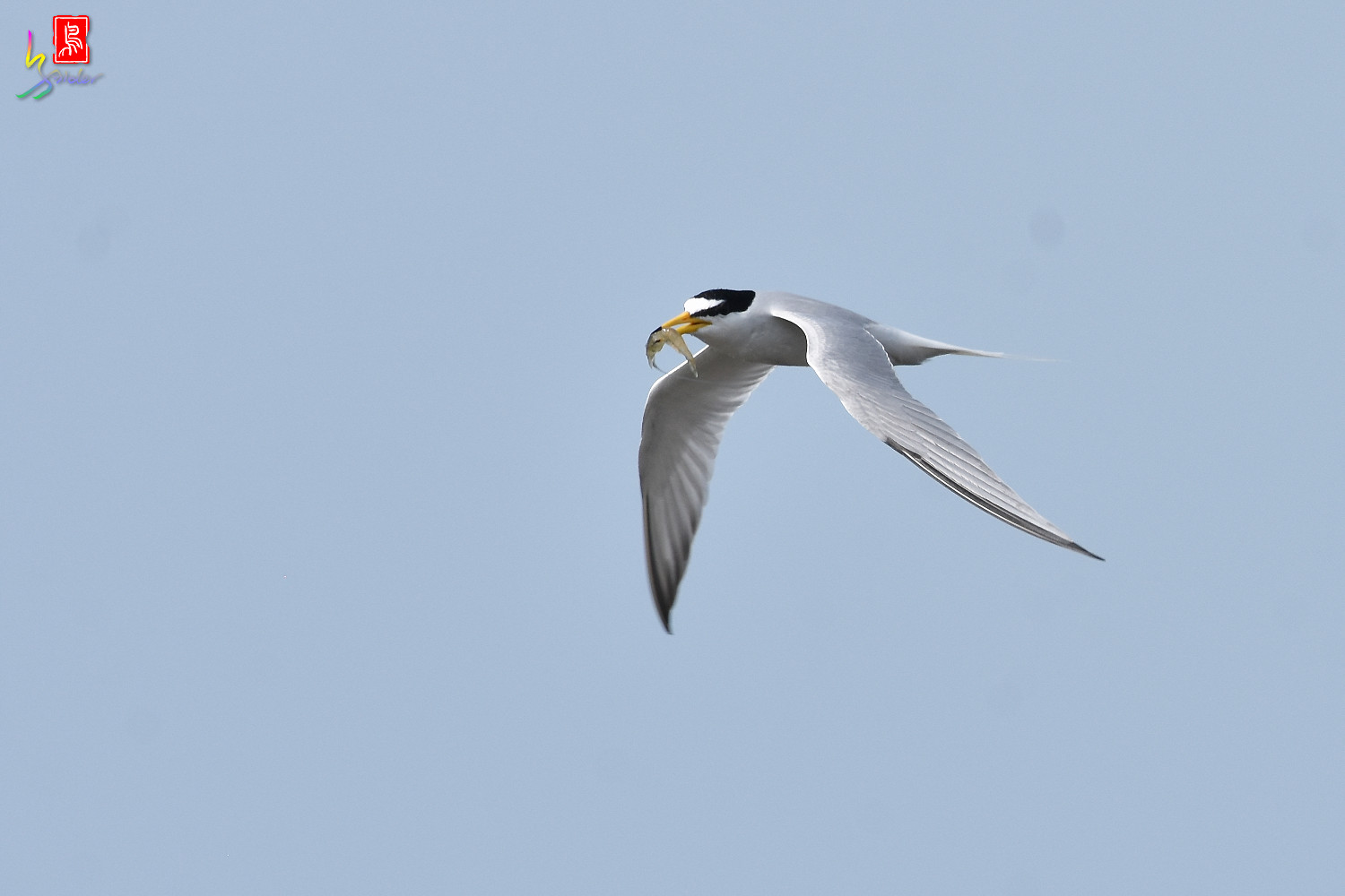 Little_Tern_4301