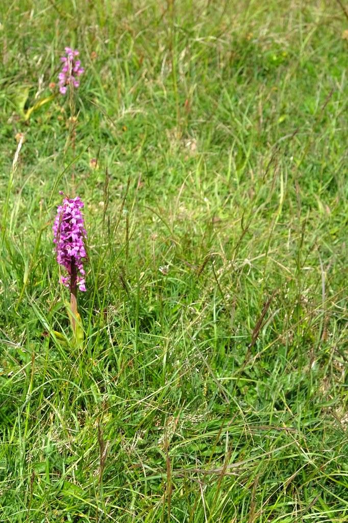 BTS 107 Wild orchids