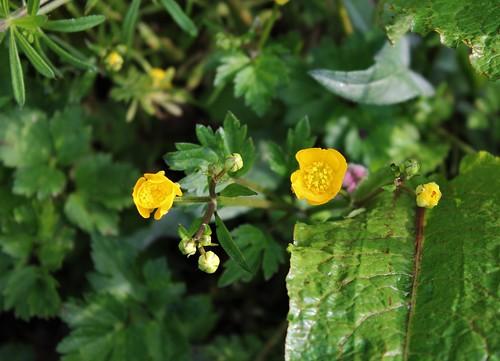 Ranunculus repens - renoncule rampante 27059904127_85b60b6e4c