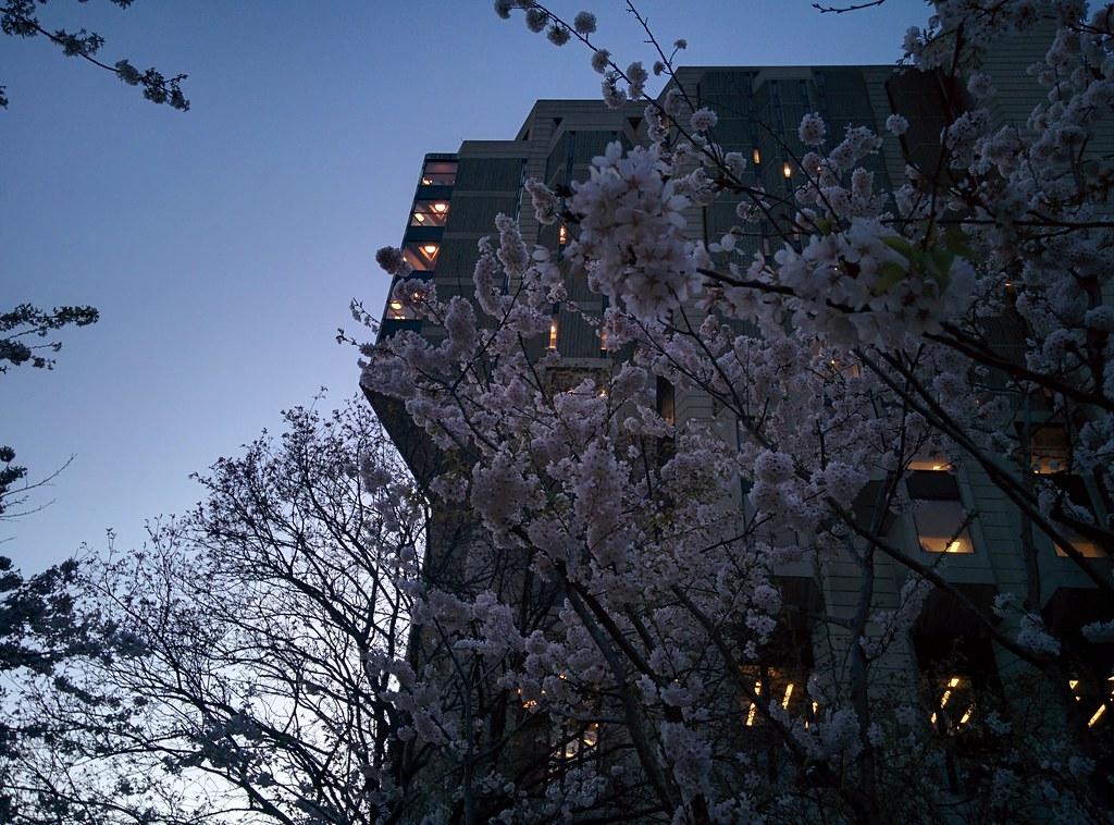 Sakura of Robarts in twilight (11) #toronto #sakura #cherryblossom #universityoftoronto #robartslibrary #harbordstreet #latergram