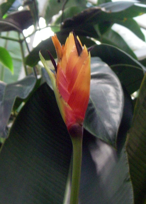 Heliconia episcopalis 27183378037_f8a699d83c_o