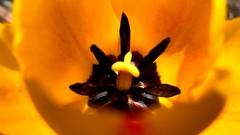 Yellow Tulip @ SUNY Old Westbury II