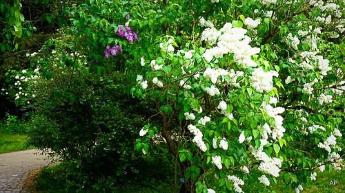 Rosengarten- Frühling