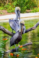 Two American white pelicans. Nikon D3100. DSC_0369.