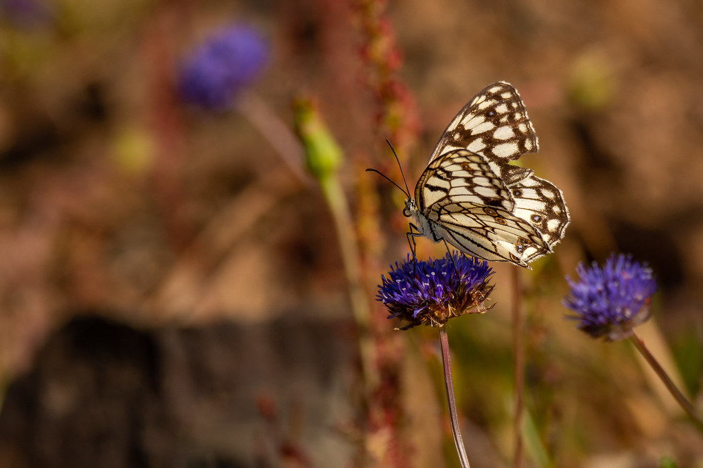 Spanish Marbled White Butterfly - Melanargia ines