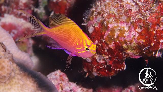 かなり大きくなってきたハナゴンベ幼魚ちゃん♪