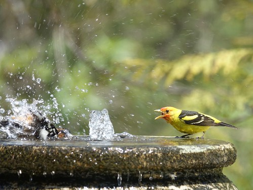 Black-headed Grosbeak and Western Tanager