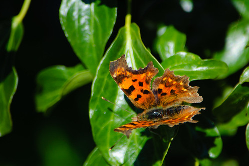 Comma butterfly on ivy leaf