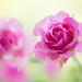 rose 4421 by junjiaoyama