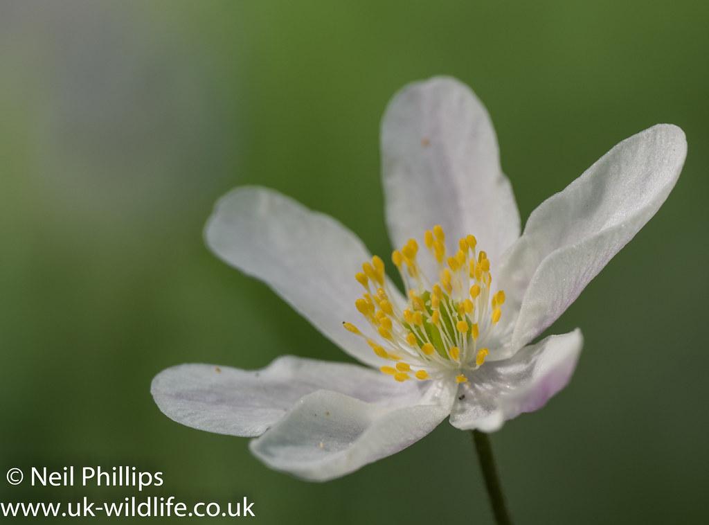 Wood anemone-9