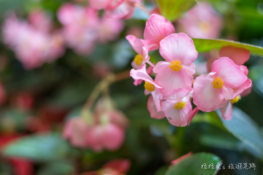 台北士林官邸蘭花展,逾500餘株、30多品種的文心蘭齊聚,迷人又好拍,一起走入新蘭亭賞花、品花香