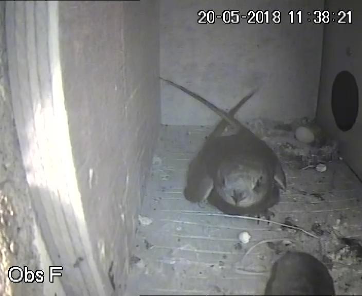 Eerste eitje nestkast F, 20 mei 2018