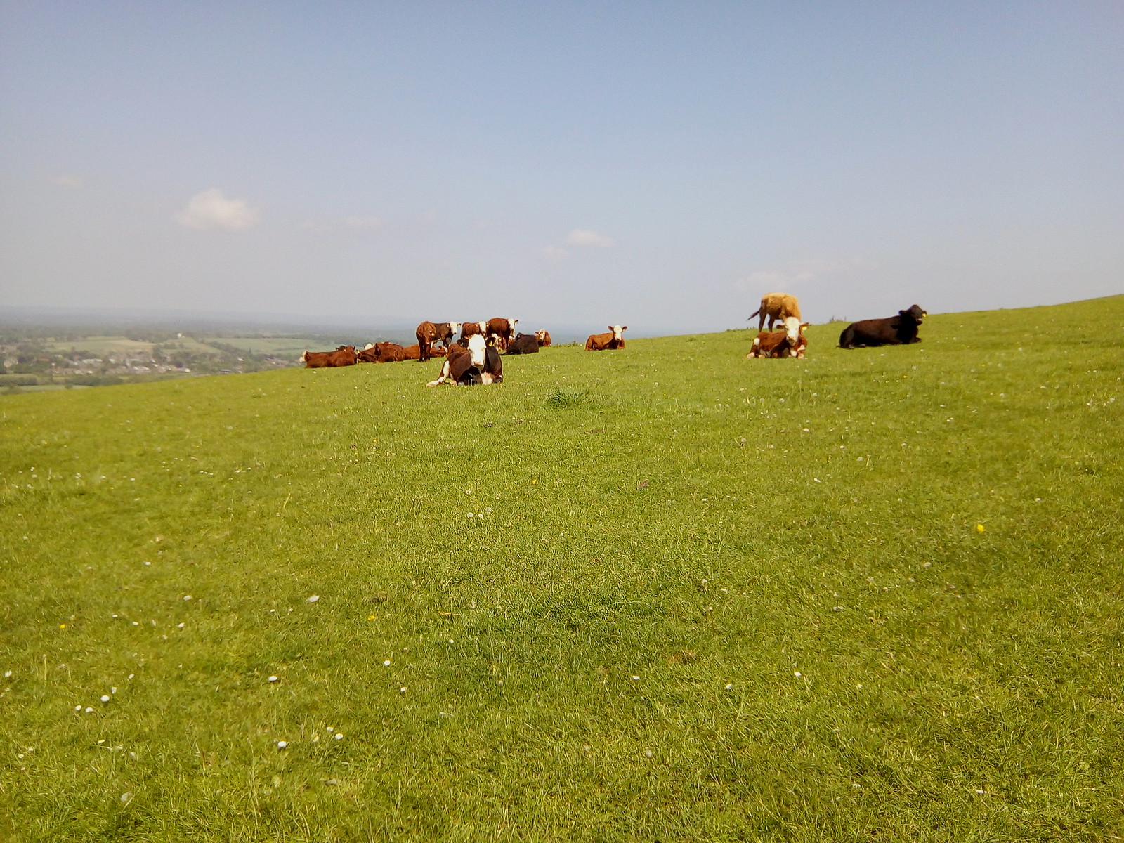 Heifers or Bullocks ? by Jack and Gill windmills Keeping a close eye on the bipeds