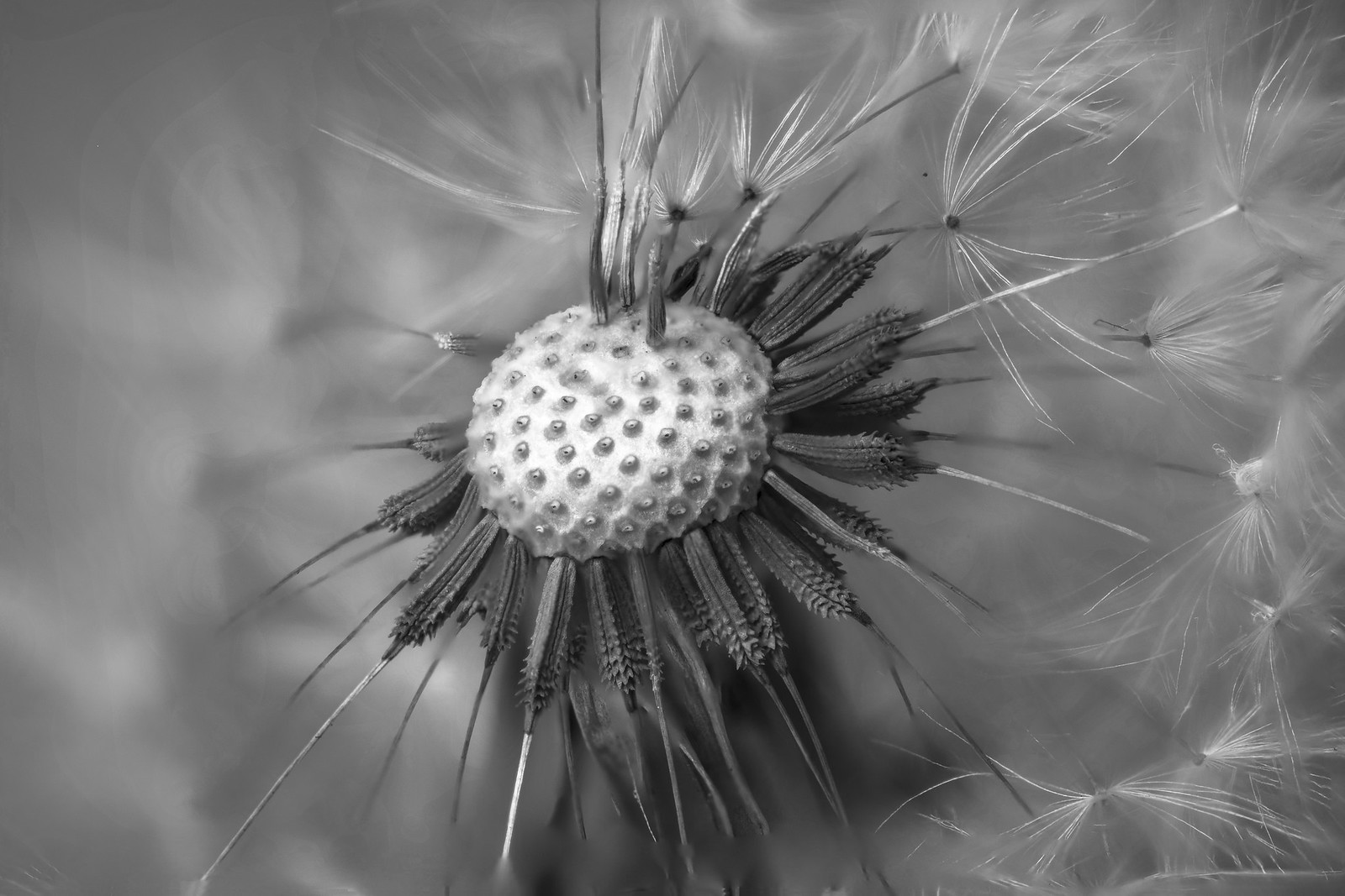 Dandelion in Windy Time