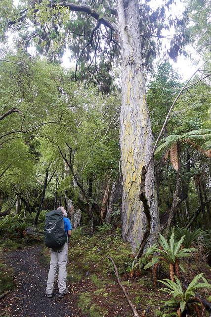 Big, big native tree
