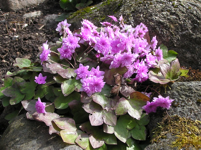 Hepatica nobilis var. rubra plena