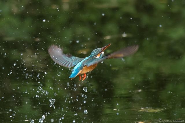 20180512-kingfisher-DSC_2109