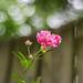Bokeh rose