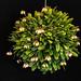 Bulbophyllum sikkimense by hawaiiansunshine