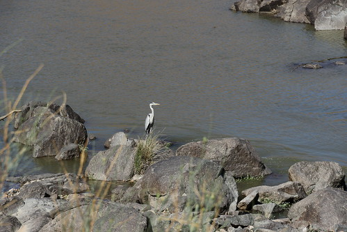 Gray Heron (Ardea cinerea). Orange River