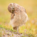 A curious burrowing owl chick by Kathrin Swoboda