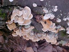 flower(0.0), leaf(0.0), tree(0.0), trunk(0.0), medicinal mushroom(1.0), oyster mushroom(1.0), mushroom(1.0), auricularia(1.0), flora(1.0), fungus(1.0), agaricomycetes(1.0), hen-of-the-wood(1.0), edible mushroom(1.0),