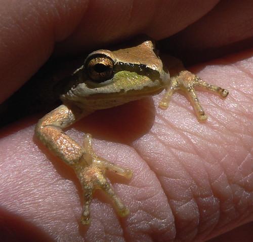 bronze tree frog