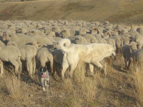 Picture of Guard Dogs with Sheep