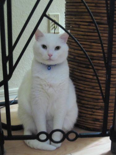 Cerco gatto bianco tavola rotonda for Gatti con occhi diversi