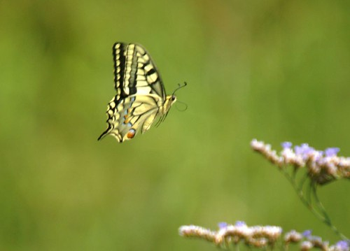 mariposa rey - Swallowtail - Papilio machaon