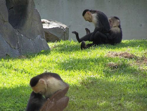 Funny monkey, X-Rated monkeys