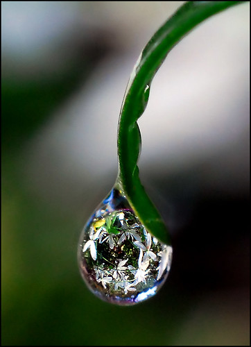 drop of clematis