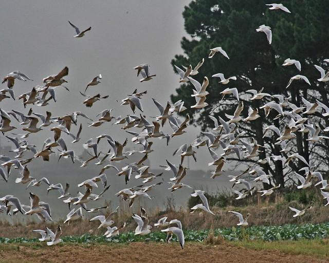 Roscoff - Santec - Les oiseaux de mer à la campagne