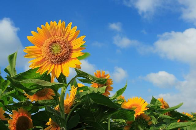 Sunflower~