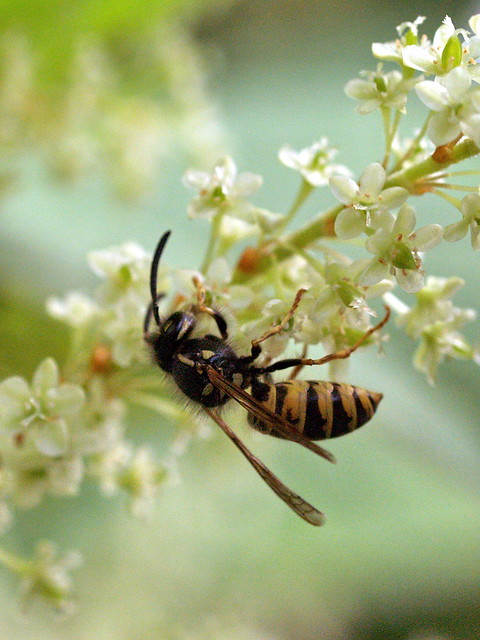 how to avoid japanese wasps